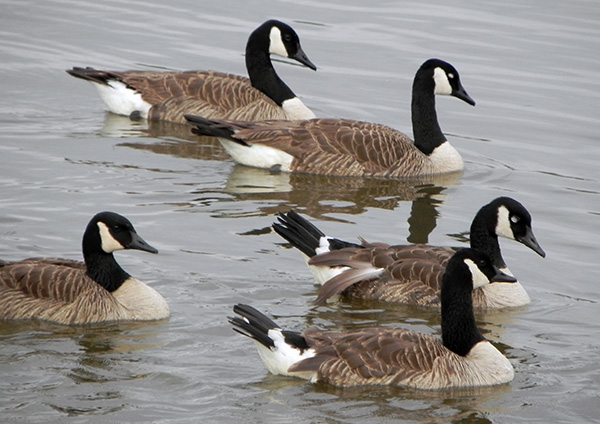 Many cameras are watching flocks of marauding geese on river.